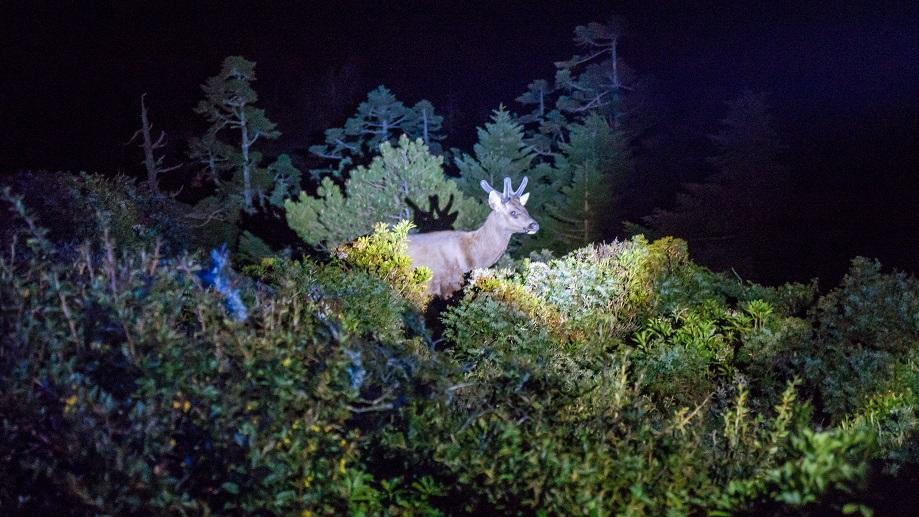嘉明湖山屋夜晚水鹿