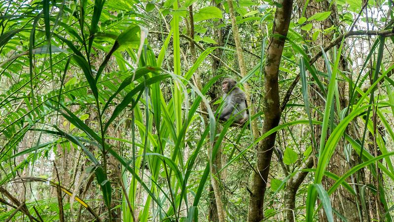 溪頭自然教育園區-大學坑土石流生態教育區 猴子