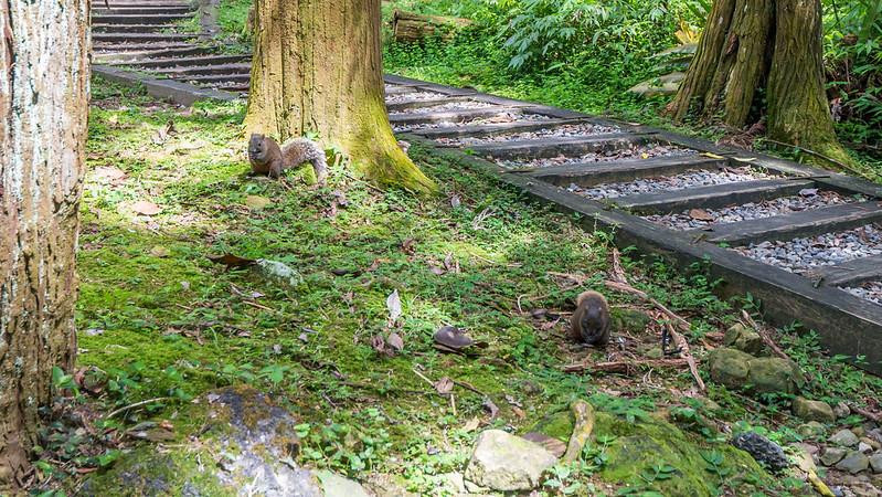 溪頭自然教育園區-松鼠
