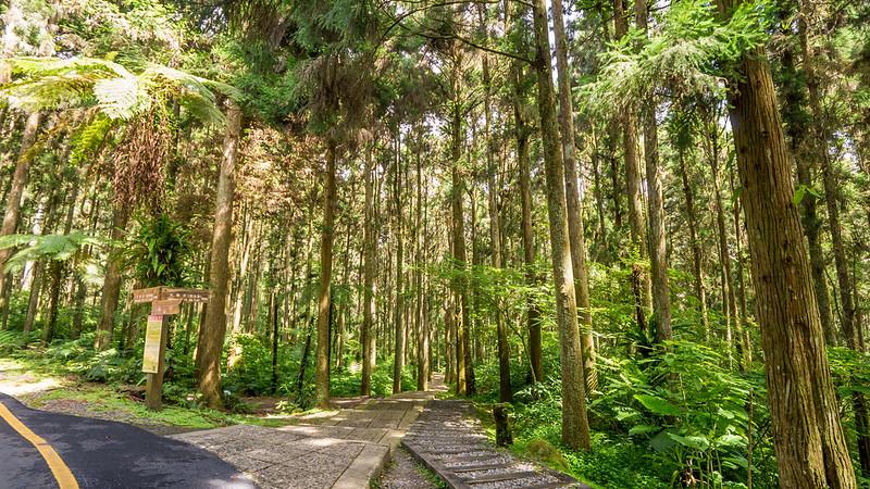 溪頭自然教育園區-林道vs步道